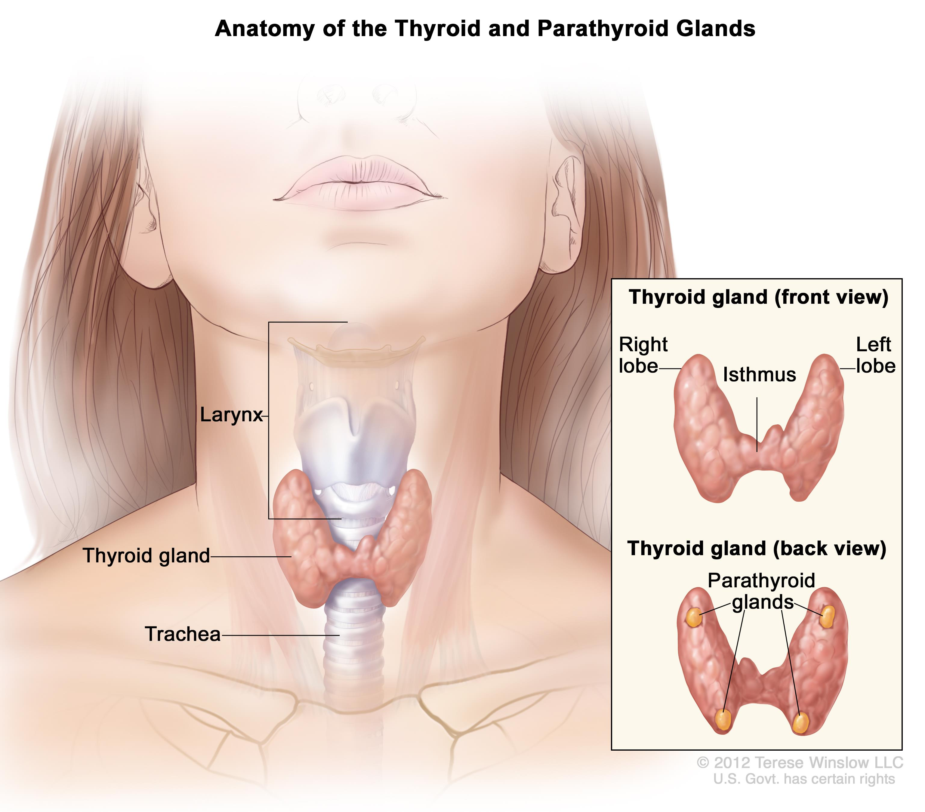 Thyroid Gland Noor Al Wasl Clinic Dubai
